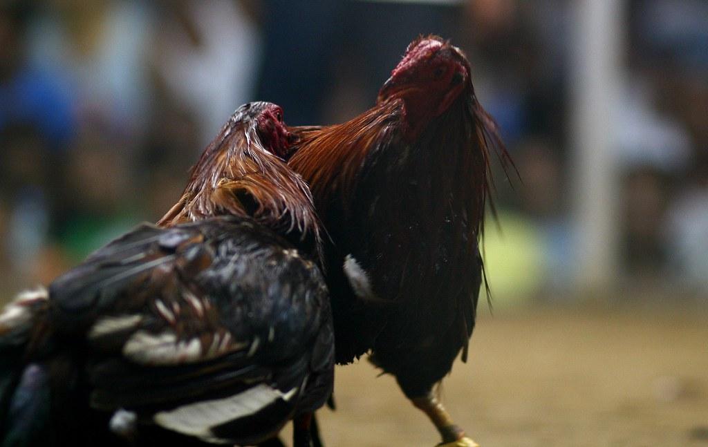S1288 Situs Sabung Ayam Yang Cocok Untuk Memainkan